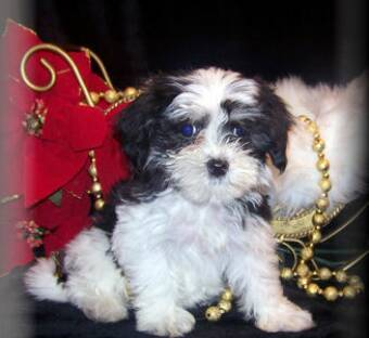 Shih poo puppies and Maltipoo puppies for sale