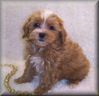 apricot maltipoo puppies for sale