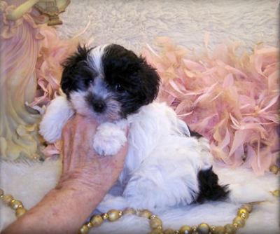 Maltipoo, Teacup maltipoo puppies for sale