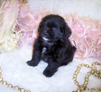 Shih Poo, Teacup Shih poo puppies for sale